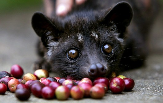Indonesians Farm Civet Cats To Produce World's Most Valuable Coffee