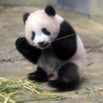 panda mian