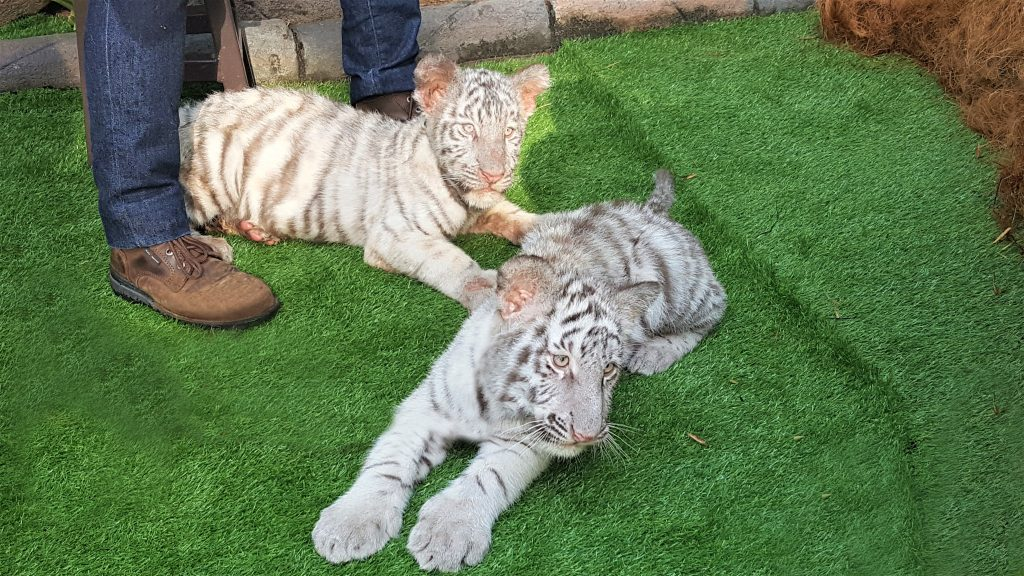 Sam (back) and Elsa (front), Sunway Lagoon's first ever white tiger cubs!