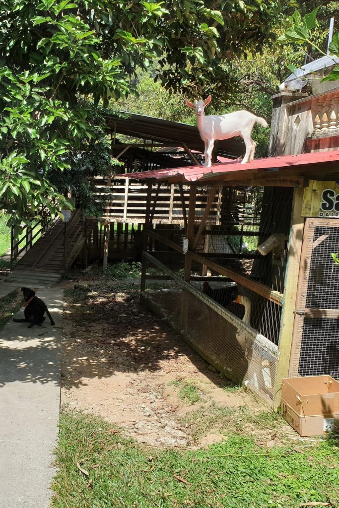 Visiting a Dairy Goat Farm in Penang_01