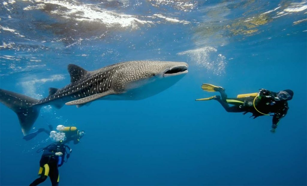 Whale Shark watching in Oslob, Cebu (image via cebutoursph.com)