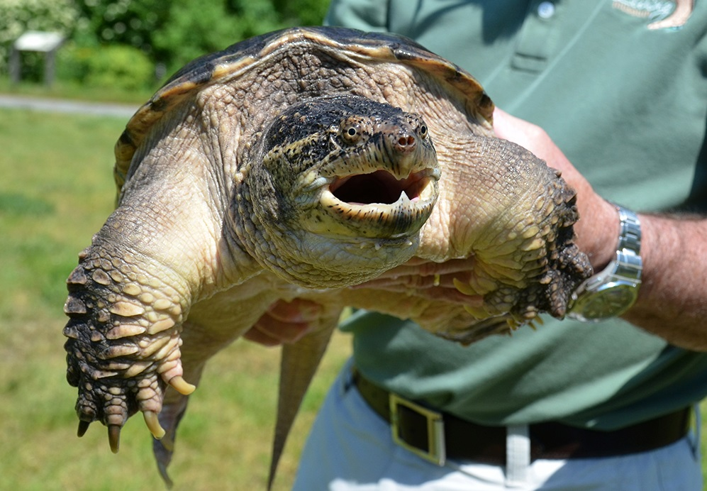 WATCH: Cop Flinches in Fear of… a Snapping Turtle?