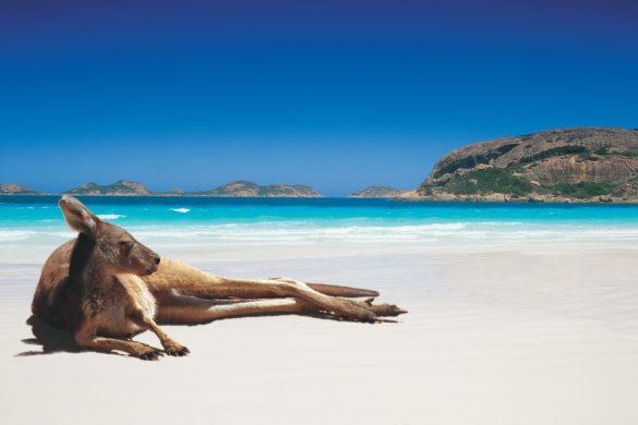 Esperance-Kangaroo-on-Lucky-Bay-Beach